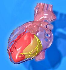 Heart coronary territories.jpg