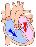 Heart diastole.png