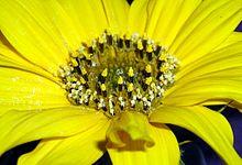 Helianthus annuus stamper.jpg