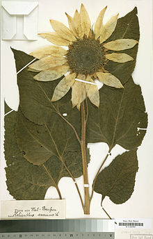 Fleur et feuilles de tournesol séchée et fixées sur une page