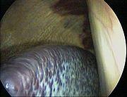 Vue laparoscopique d'une rate de cheval