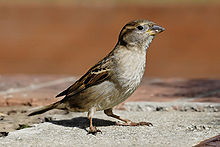 small bird withpale belly and breast and patterned wing and head stands on concrete