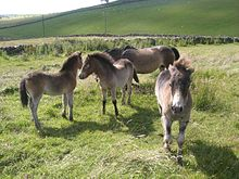 Four small grey ponies in a grassy field.