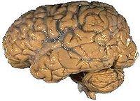 Human brain NIH.jpg