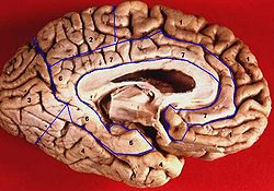 Human brain inferior-medial view description.JPG