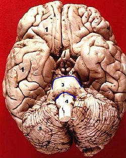 Human brain inferior view description.JPG