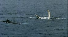 Photo of two whales. One lies on its back with fins outstretched above the surface