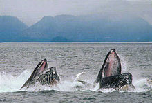 Photo of two whales with only heads visible above surface