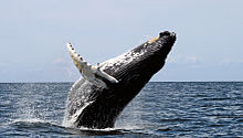 Photo of humpback whale with most of its body out of the water and its pectoral fins extended
