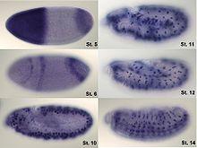 Visualization of hunchback mRNA in Drosophila embryo.
