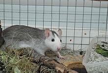 Un rat gris et blanc de type husky, vu de profil