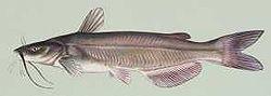 Ictalurus punctatus.jpg