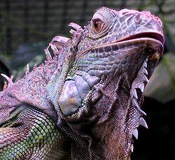 Iguana iguana close up small.jpg