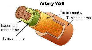 Illu artery.jpg