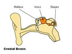 Illu auditory ossicles.jpg