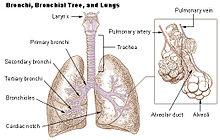 Illu bronchi lungs.jpg