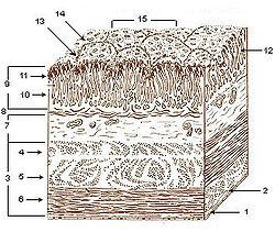 Illu stomach layers.jpg