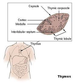 Illu thymus.jpg