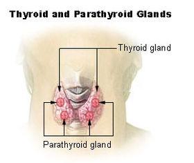 Illu thyroid parathyroid.jpg
