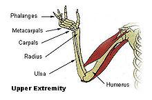 Illu upper extremity.jpg