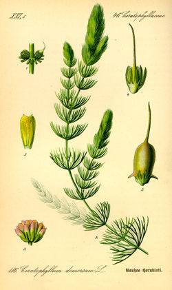 Illustration Ceratophyllum demersum0.jpg