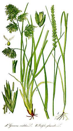 Dactylis glomerata