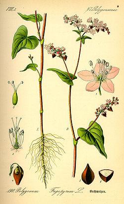 Fagopyrum esculentum
