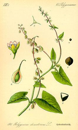 Illustration Fallopia dumetorum0.jpg