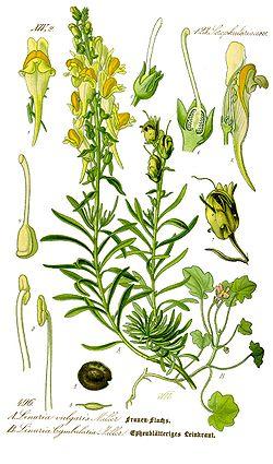 Linaire commune, Linaria vulgaris