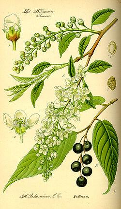 Illustration Prunus avium0.jpg