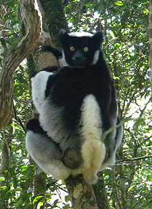 A medium-size lemur clings to a tree while looking over its shoulder. It has a very short tail and its face, hands, and upper back are black while the rest of it is white.
