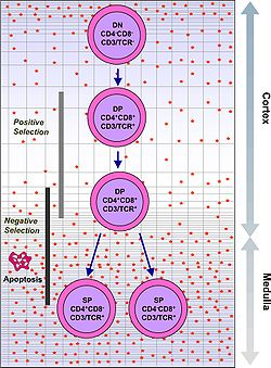 Intrathymic T Cell Differentiation.JPG