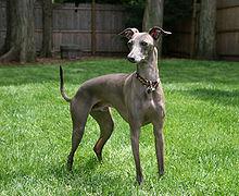 Italian Greyhound standing gray.jpg