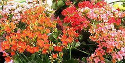 Les fleurs de Kalanchoe blossfeldiana