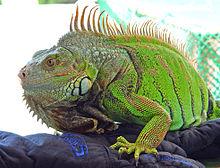 Kini iguana.jpg