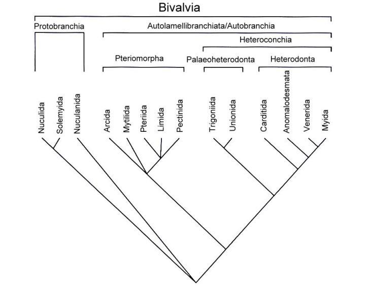 Kladogramm der Großgruppen der Muscheln (Bivalvia)(nach Bieler & Mikkelsen (2006)