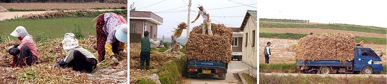 Korea-Goheunggun-Garlic harvest and transport.jpg