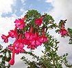 La Flor Cantuta.jpg