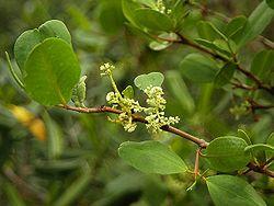Laguncularia racemosa.jpg