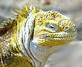 加拉巴哥陸鬣蜥