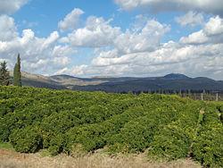 Hillside of lemon orchard in Galilee.