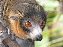 A close-up photo of a male mongoose lemur, showing its long snout and wet nose