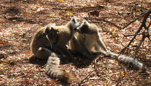 Two adult Ring-tailed Lemurs lick each others face while a juvenile moves around on its mother's back.
