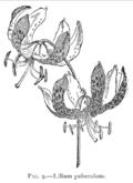 LiliumPuberulum.png