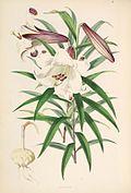 Lilium brownii.jpg