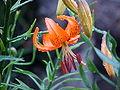 Lilium davidii 5.jpg