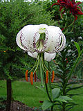 Lilium duchartrei.jpg
