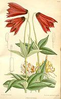 Lilium grayi 2.jpg