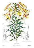 Lilium leucanthum var. centifolium.jpg