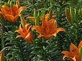 Lilium maculatum flower.jpg